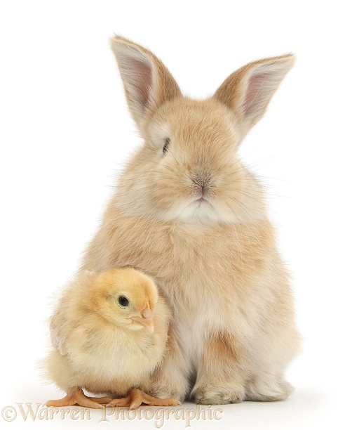 Cute sandy bunny and yellow bantam chick, white background