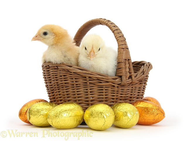 Yellow bantam chicks in basket with Easter eggs, white background