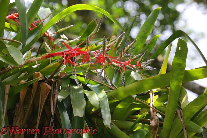 ... Bromeliad ( Aechmea dichlamydia ) flowering in tropical rainforest