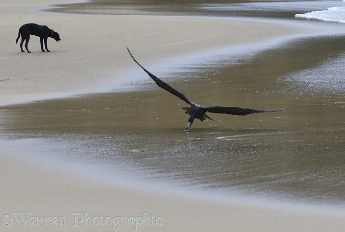 Magnificent Frigatebird (Fregata magnificens) snatching a small fish off the beach