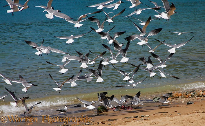 Laughing Gulls  (Larus atricilla) descending on fish offal thrown on the beach