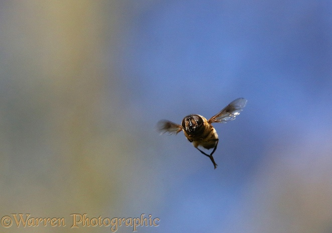 Hoverfly or Drone Fly (Eristalis tenax) male hovering on the lookout for females