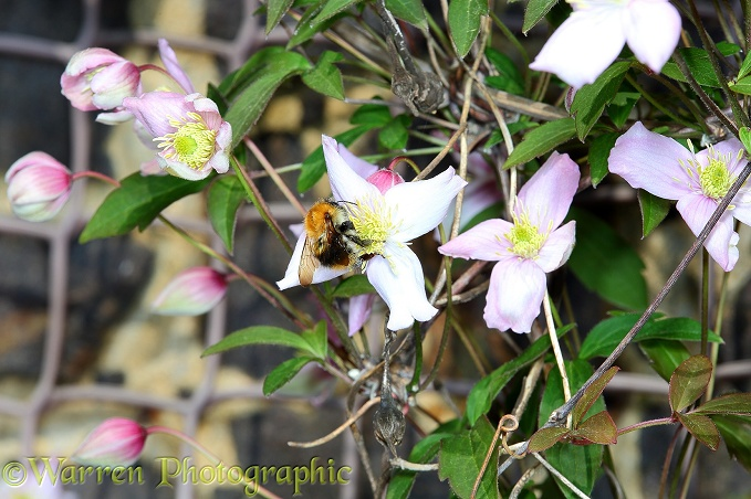 Clematis montana with bumblebee