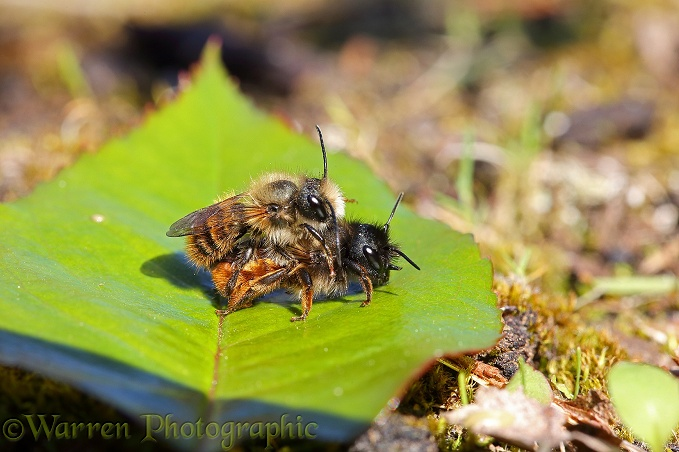 Red Mason Bee (Osmia rufa) mating pair
