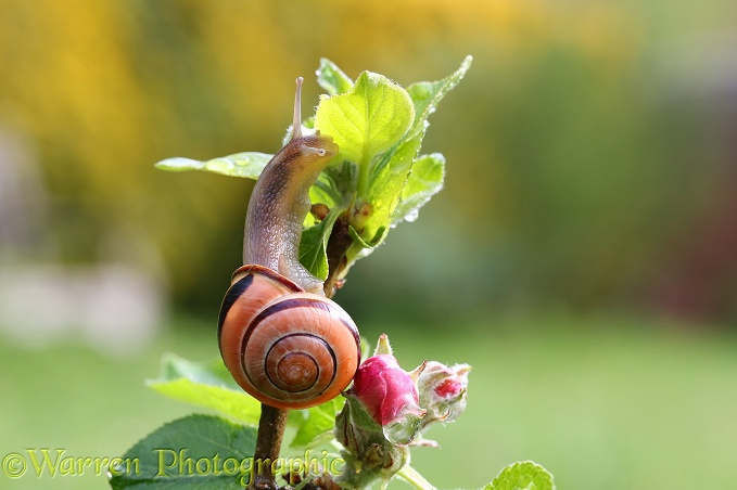 Brown-lipped Banded Snail (Cepaea nemoralis) on apple