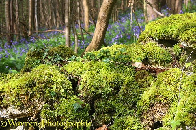 Ancient stone wall in a Cotswold wood