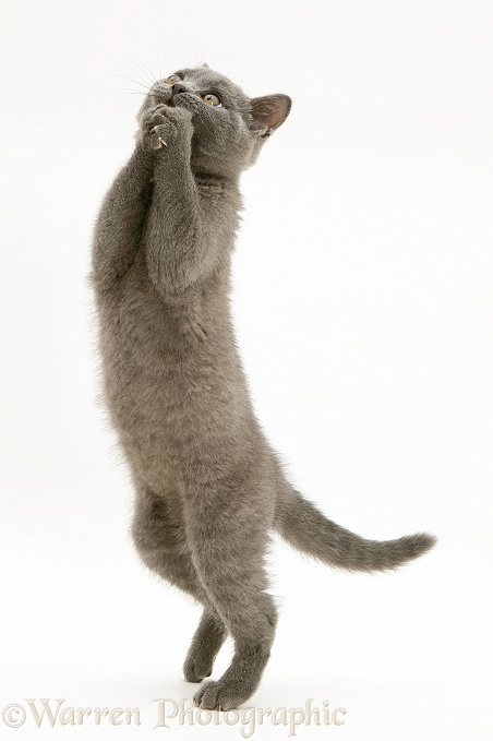British Shorthair Blue kitten, Taz, standing up and grasping a begging manner, white background