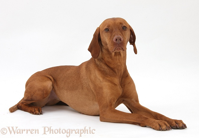 Hungarian Vizsla bitch, lying with head up, white background