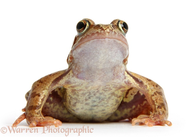 Common Frog (Rana temporaria), white background