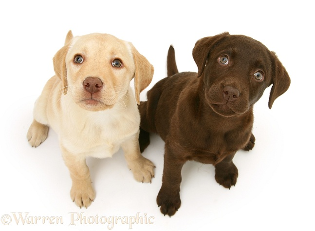 Chocolate and yellow Labrador Retriever pups, Millie and Mocha, sitting and looking up, white background