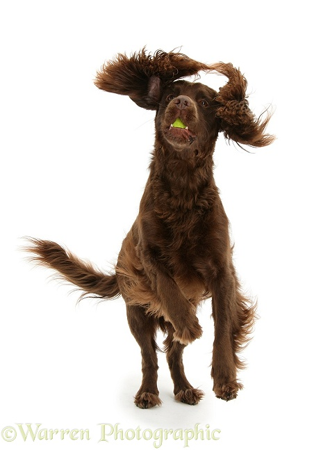 Chocolate Cocker Spaniel, 4 years old, leaping and catching a ball, white background