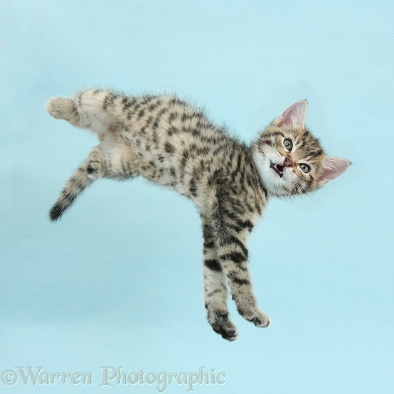 Tabby kitten, Stanley, 8 weeks old, taking a flying leap, on blue background