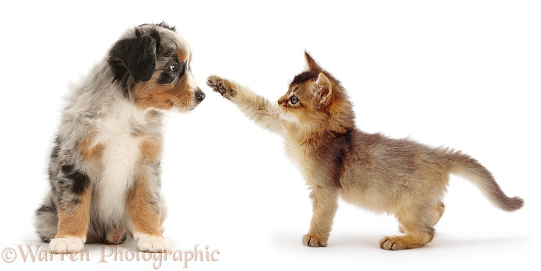 Usual Somali kitten, dabbing the nose of merle Mini American Shepard puppy, both 7 weeks old, white background
