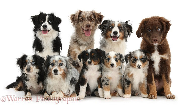 Group of Miniature American Shepard dogs, white background