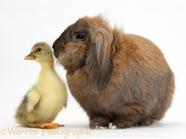 Lionhead Lop rabbit, Dibdab, and cute Gosling, white background