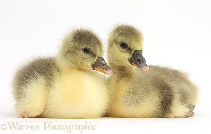 Two Embden x Greylag Goslings, white background