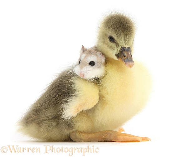 Cute Gosling with a Roborovski Hamster (Phodopus roborovskii) sitting on its back, white background