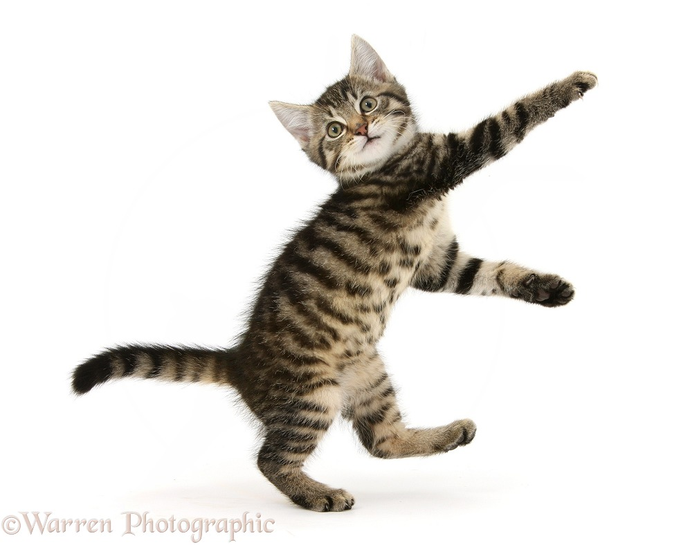 Playful tabby male kitten, Fosset, 10 weeks old, dancing, white background