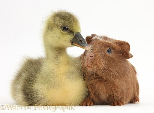 Cute Gosling and baby Guinea pig, white background