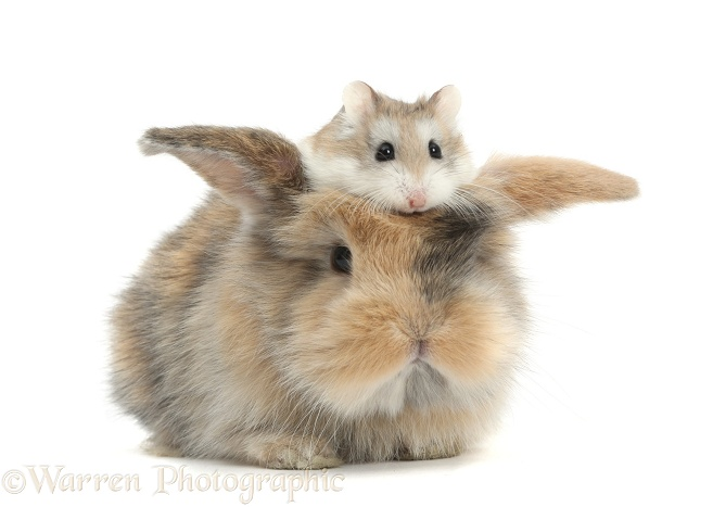 Cute baby rabbit with a Roborovski Hamster (Phodopus roborovskii) sitting on its head, white background