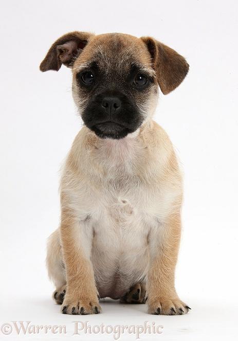 Dog: Jug puppy (Pug x Jack Russell) sitting photo WP40100