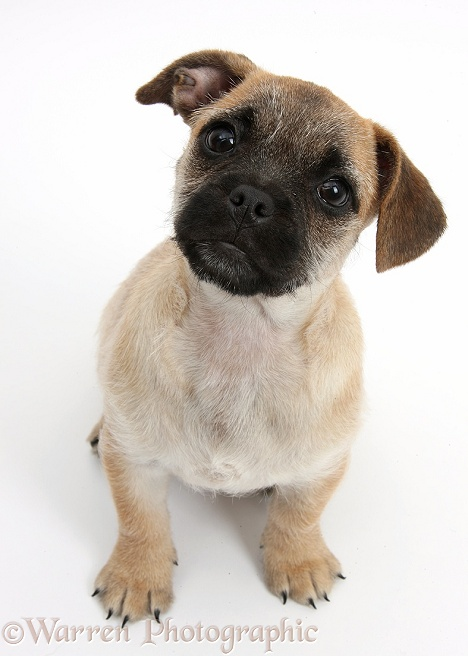 Jug puppy (Pug x Jack Russell), 9 weeks old, sitting, white background