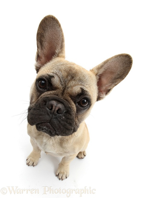 French Bulldog sitting looking up, white background