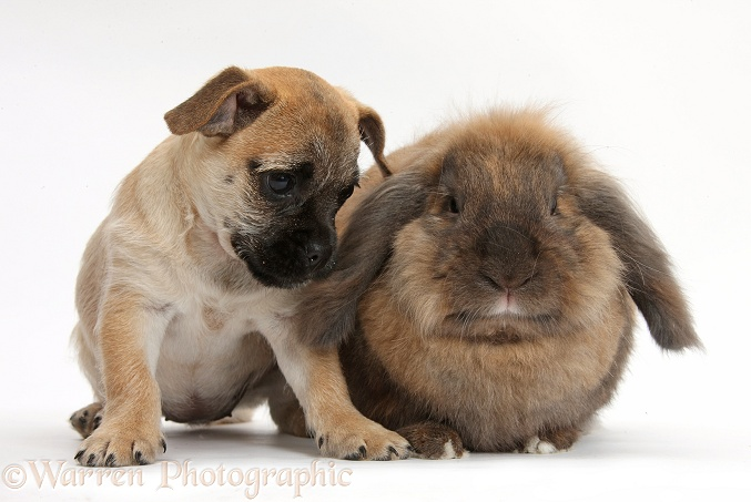 Jug puppy (Pug x Jack Russell), 9 weeks old, with Lionhead Lop rabbit, Dibdab, white background