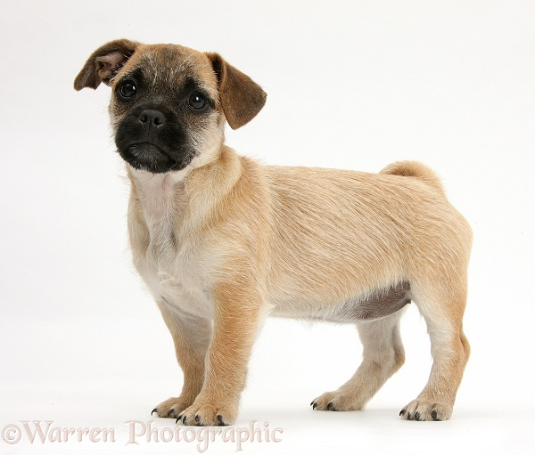 Jug puppy (Pug x Jack Russell), 9 weeks old, standing, white background