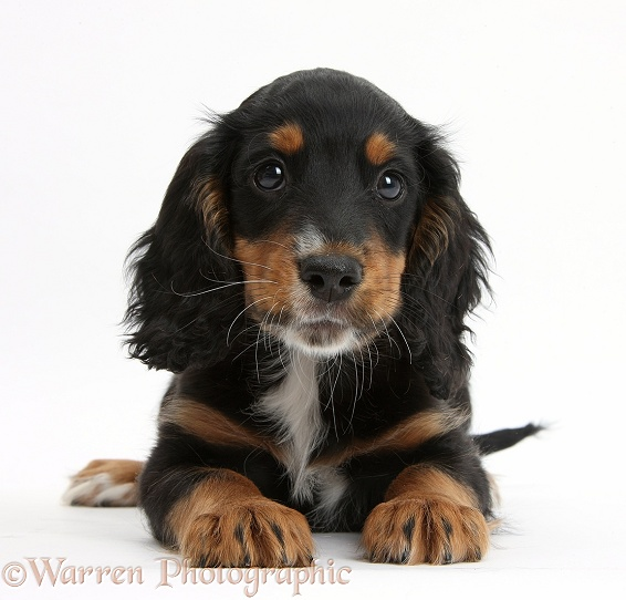 Tricolour working Cocker Spaniel puppy, 9 weeks old, white background