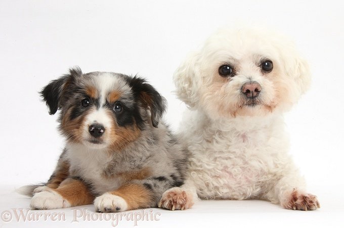 Mini American Shepard puppy with Bichon Frise bitch, Poppy, white background