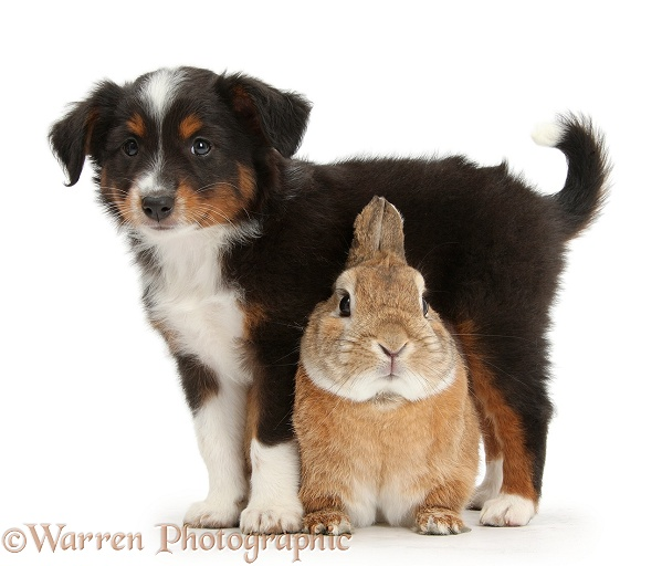 Mini American Shepard puppy with Netherland dwarf-cross rabbit, Peter, white background
