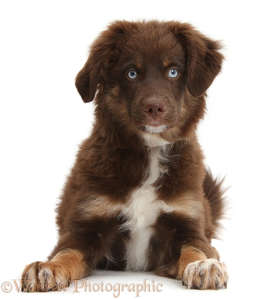 Chocolate blue-eyed Mini American Shepard puppy, white background