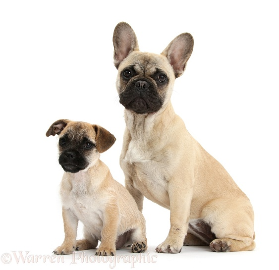 Jug puppy (Pug x Jack Russell Terrier), 9 weeks old, and French Bulldog, white background