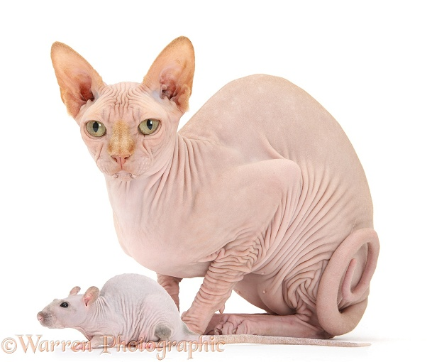 Sphynx cat and Sphynx rat, white background