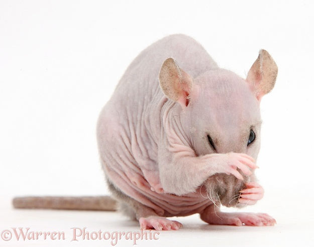 Sphynx Rat grooming, white background