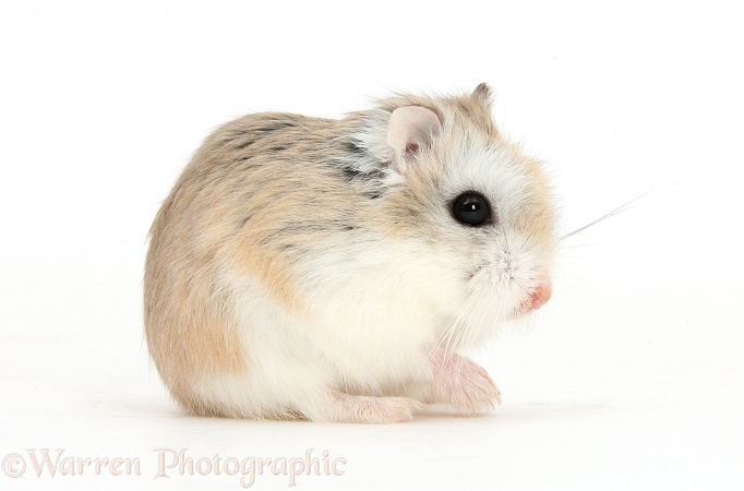 Roborovski Hamster (Phodopus roborovskii) sitting down after grooming, white background