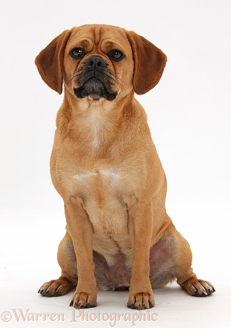 Puggle bitch, Polly, 1 year old, white background