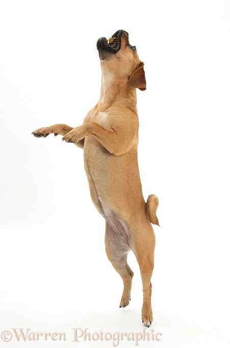 Puggle bitch, Polly, 1 year old, jumping up to catch a treat, white background