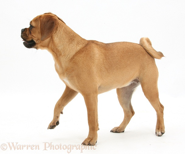 Puggle bitch, Polly, 1 year old, standing, white background