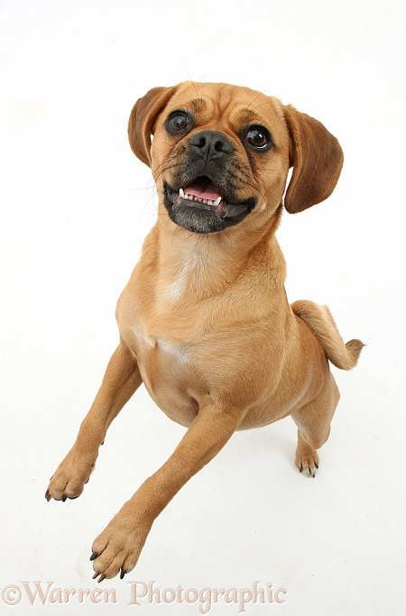 Puggle bitch, Polly, 1 year old, standing up, white background