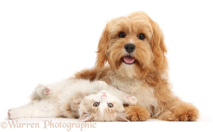 Ginger-and-white Siberian kitten, 16 weeks old, lying upside down with Cavapoo, 5 months old, white background