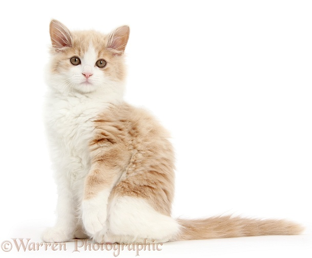 Ginger-and-white Siberian kitten, 16 weeks old, sitting with one paw raised, white background