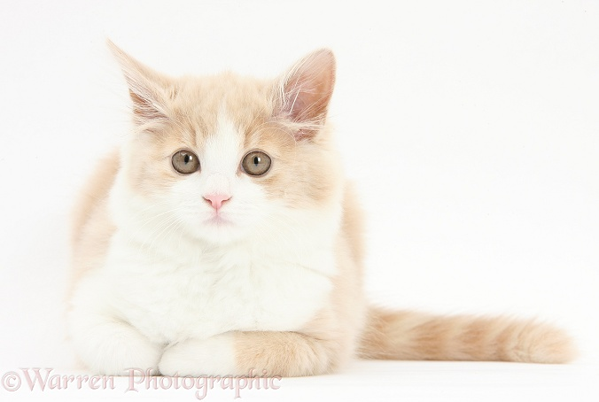 Ginger-and-white Siberian kitten, 16 weeks old, lying with head up, white background