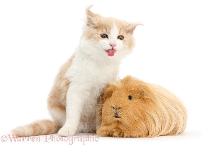 Ginger-and-white Siberian kitten, 16 weeks old, shaking and making a funny face after licking the fur of ginger Guinea pig, white background