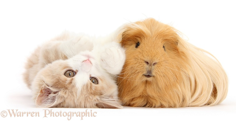 Ginger-and-white Siberian kitten, 16 weeks old, lying upside down with ginger Guinea pig, white background