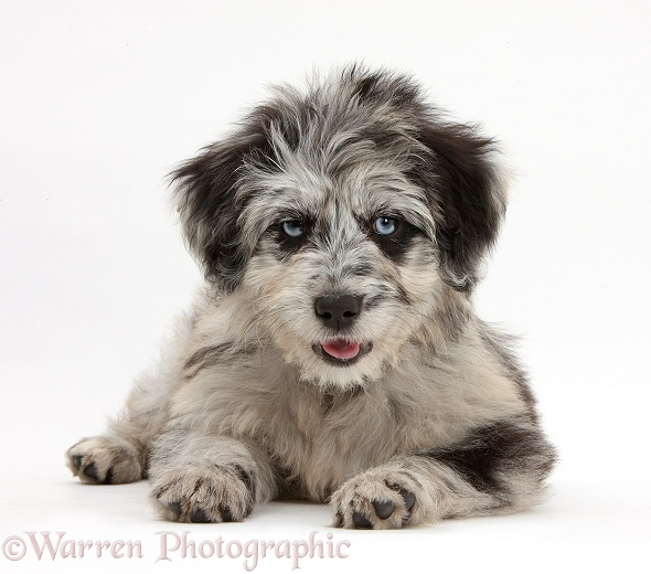 Blue merle Cadoodle puppy, white background