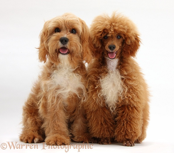 Cavapoo and red toy Poodle, white background