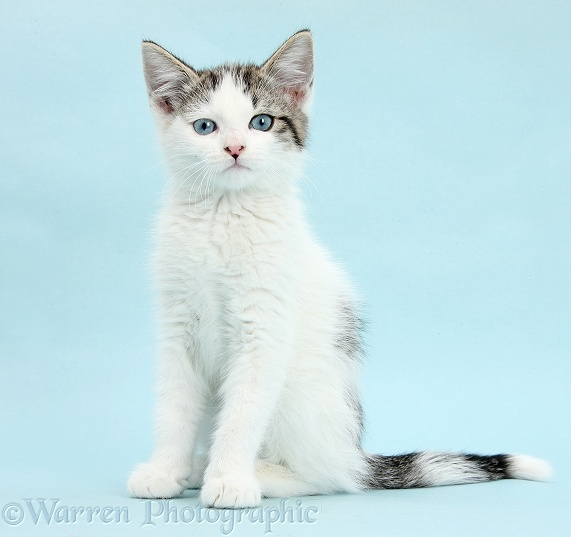 Blue-eyed tabby-and-white Siberian-cross kitten, 13 weeks old, sitting on blue background