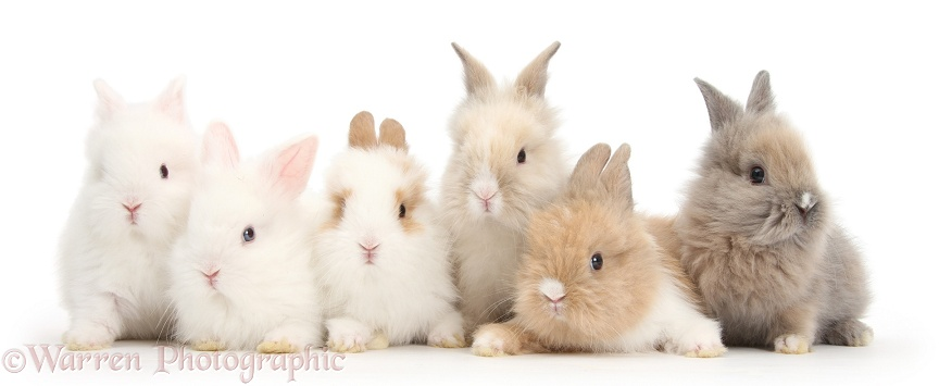 Six cute baby Lionhead bunnies in a row, white background